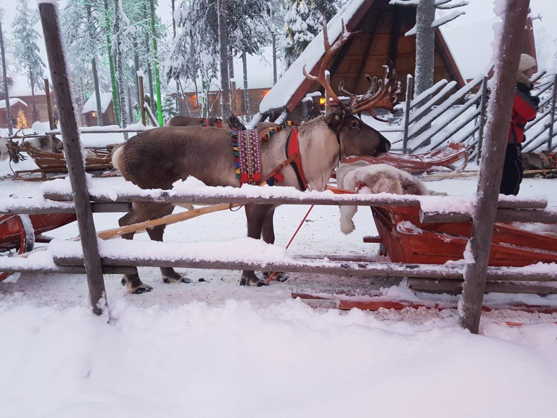 Reindeer Rentier Lappland Rovaniemi