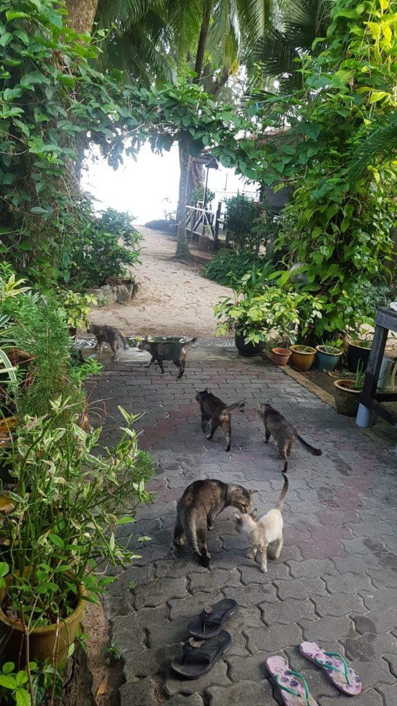 Katzen auf Pulau Tioman