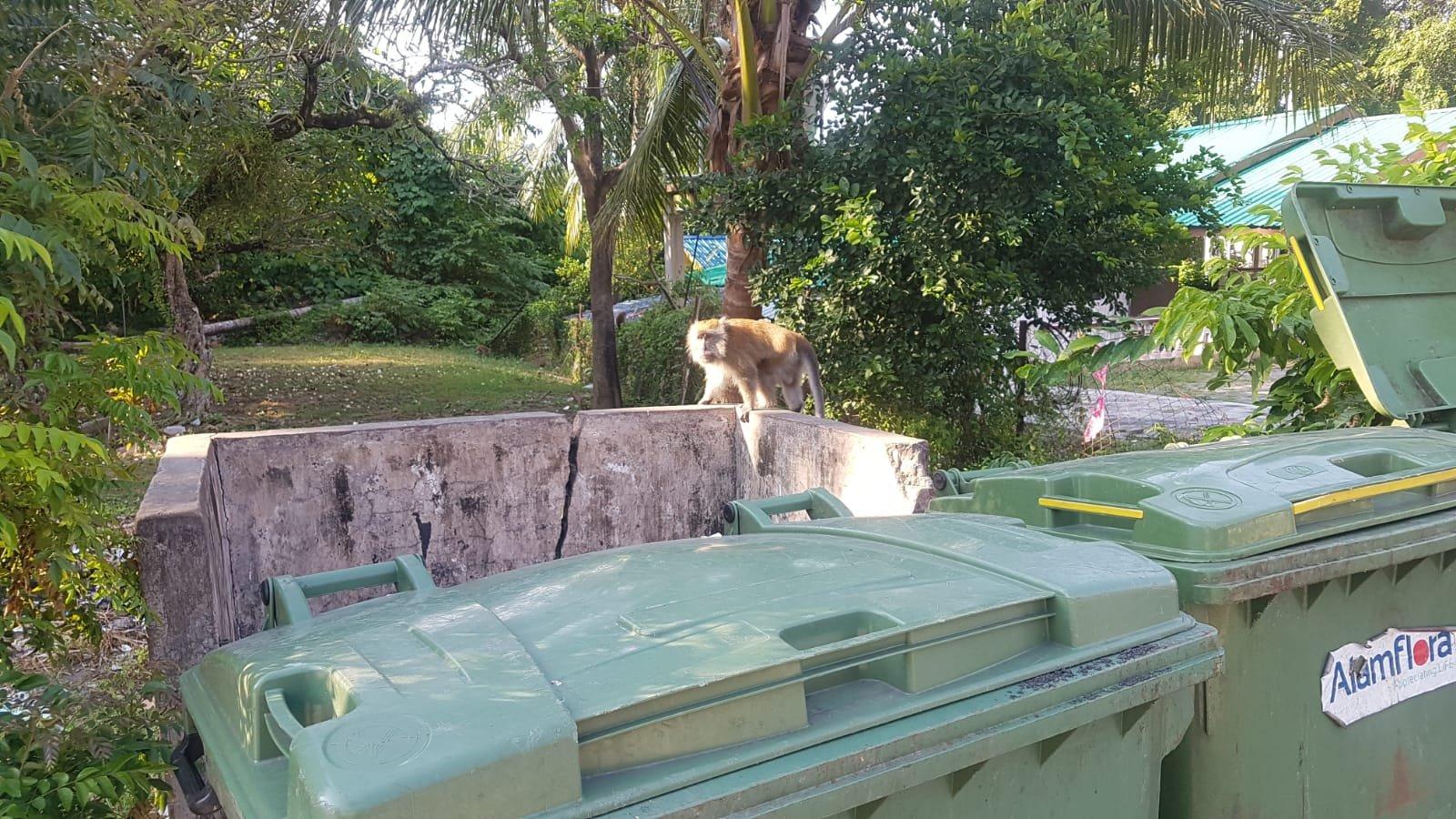 Affen auf Pulau Tioman