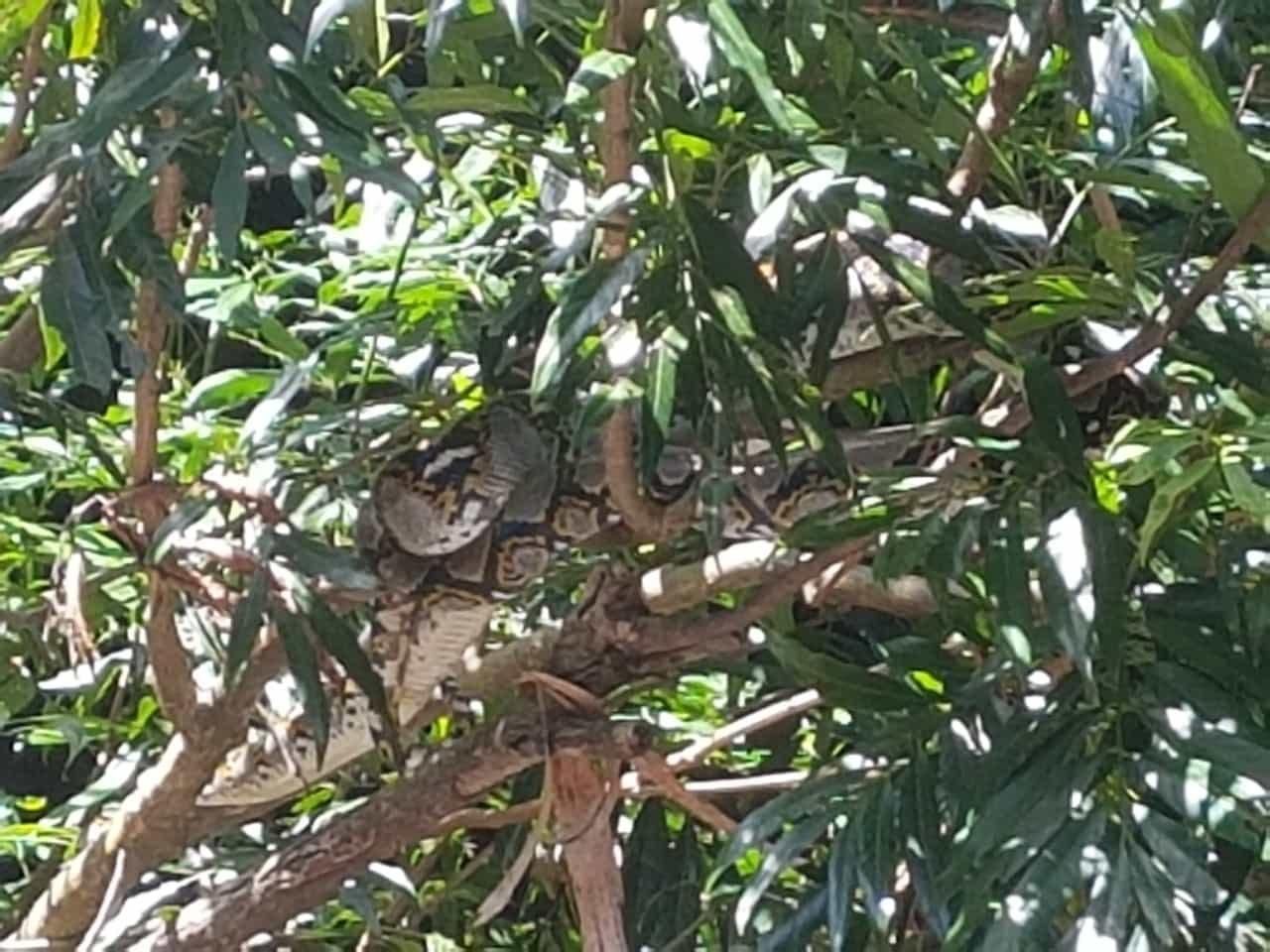Python im Taman Negara