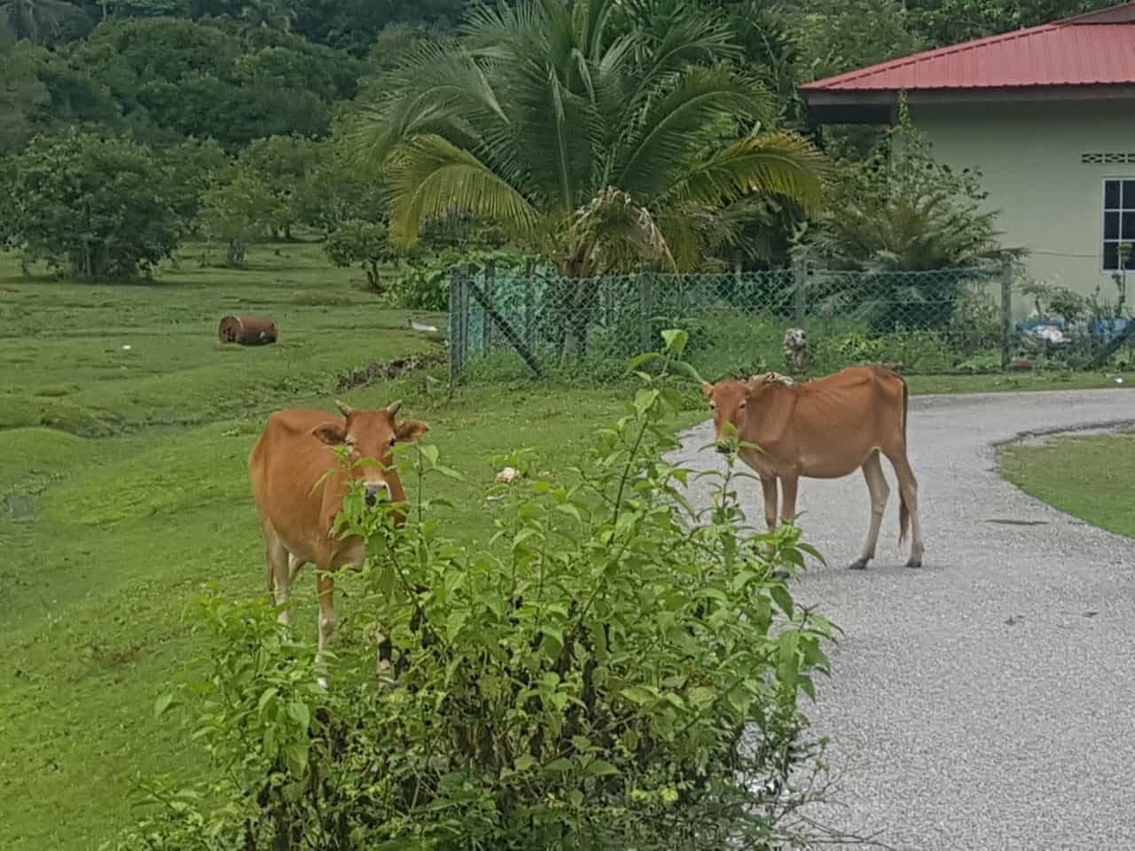 Kühe auf Pulau Tuba