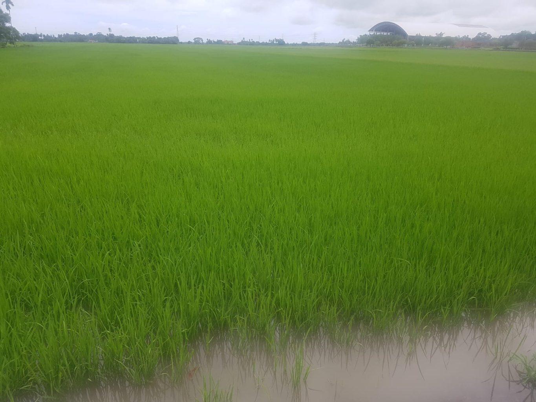 grüne Reisfelder in Alor Setar